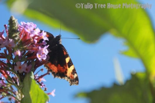 TTHP Butterfl y